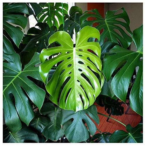 Monstera Fertilizer Professional Nursery Grade 4 LB 6 Month Slow Release Monstera deliciosa Plant...
