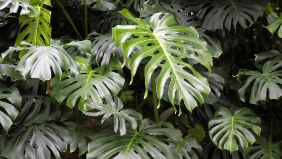 Mature Monstera Deliciosa leaves