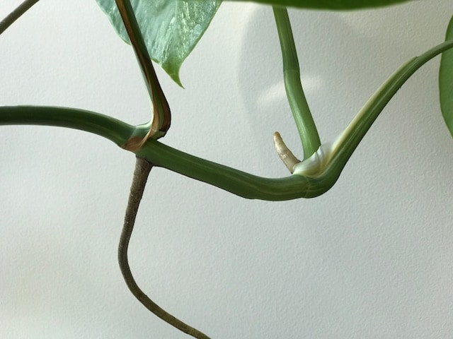 Cut the Monstera Deliciosa below the node to propagate it