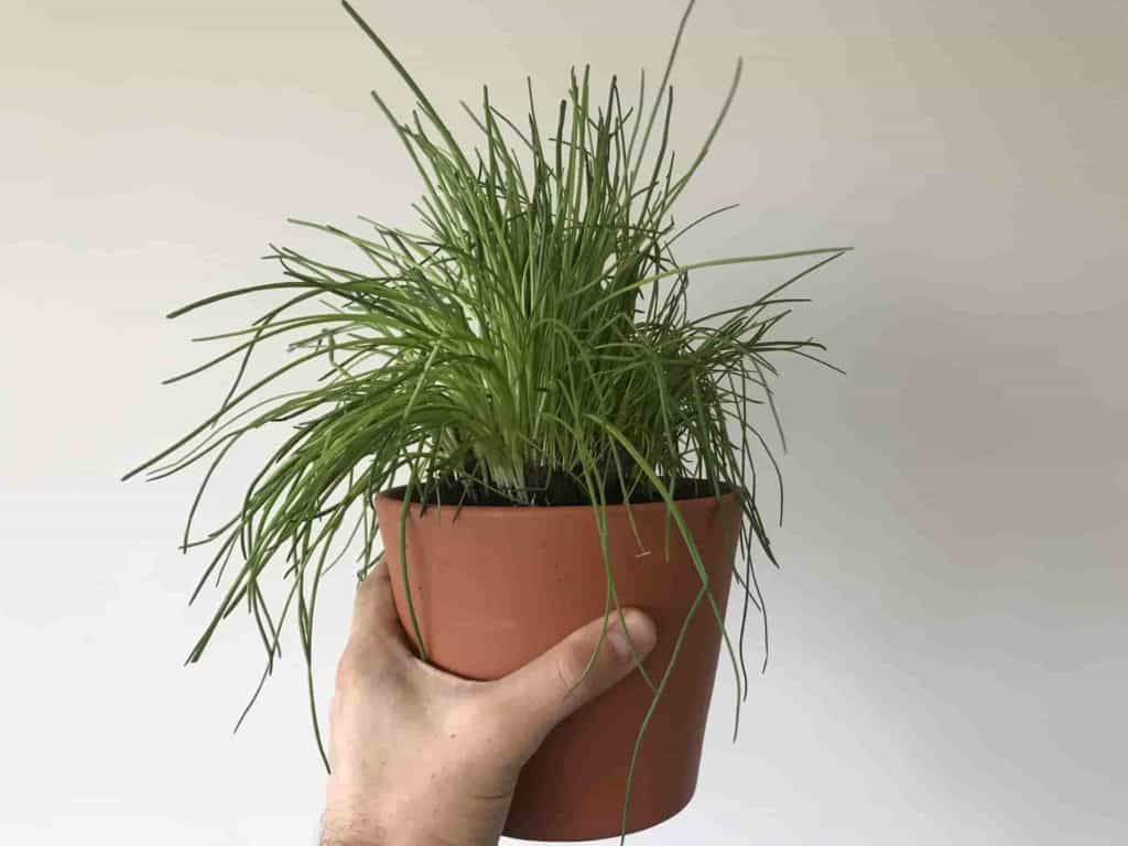 Tipps & Tricks to grow chives indoors.