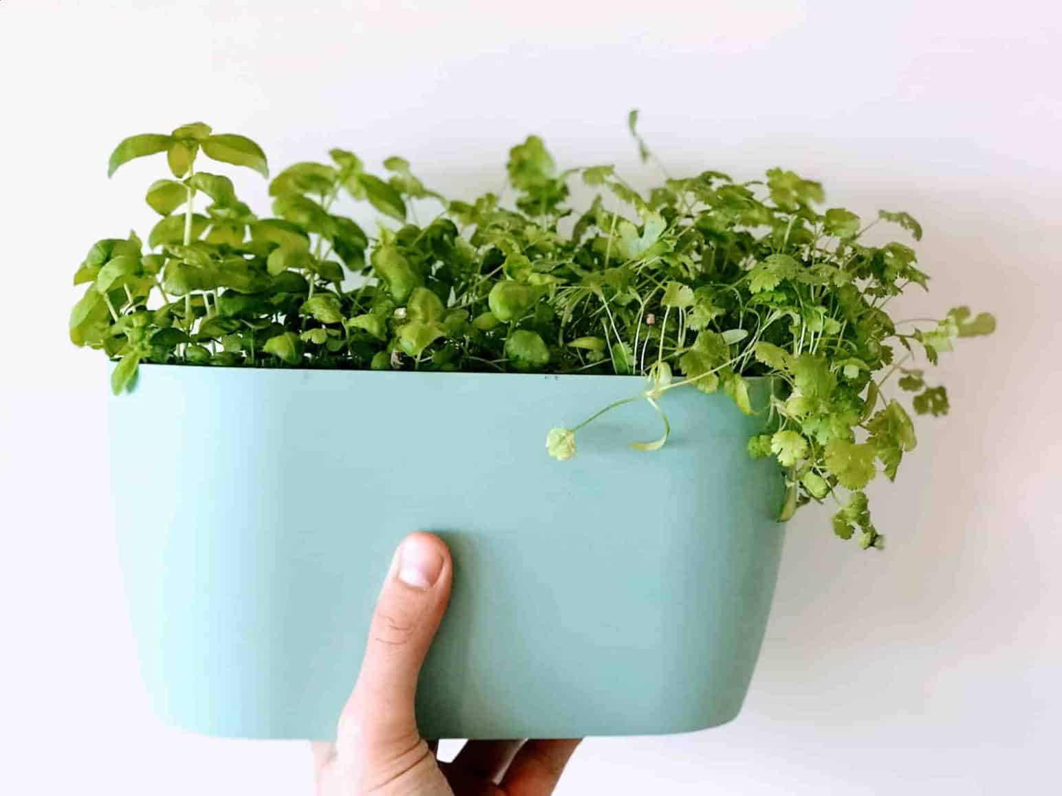 Top 5 herbs to grow indoors plantophiles - Best herbs to grow indoors ...