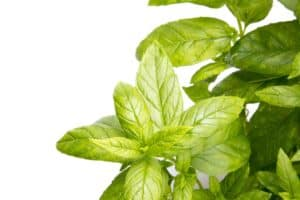 Peppermint a great herb