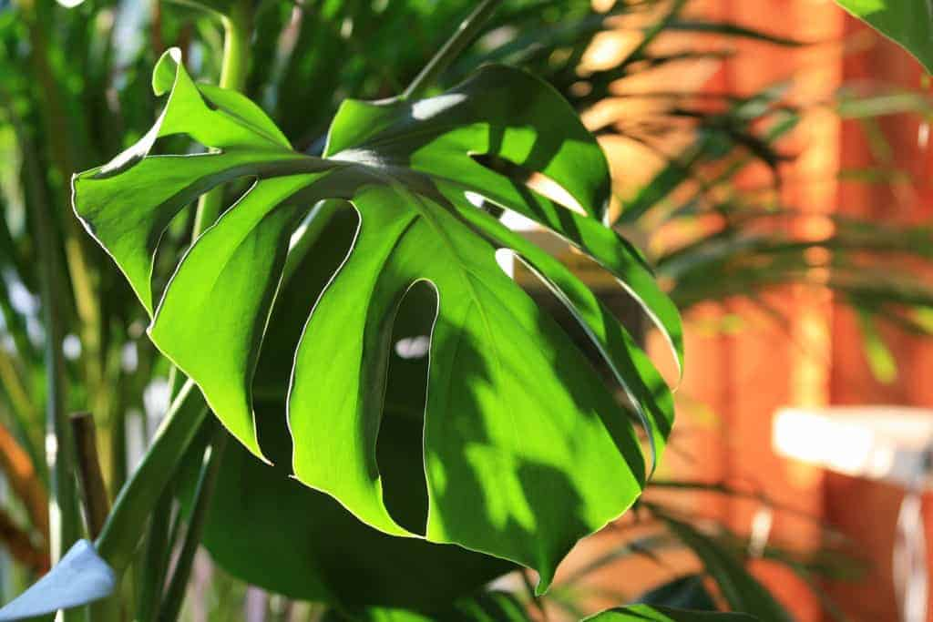 Monstera Deliciosa Plant – Best Care and Propagation Guide 101