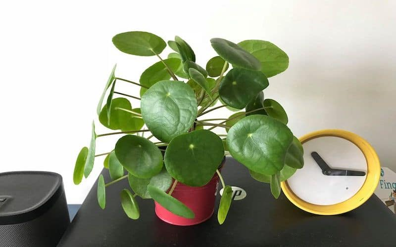 Pilea Peperomioides Plant – How to Care and Propagate