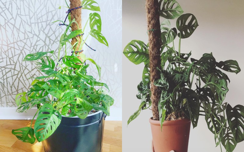 Monstera Adansonii Care – Best Kept Secrets!