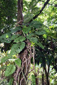 Monstera Adansonii growing in the wild