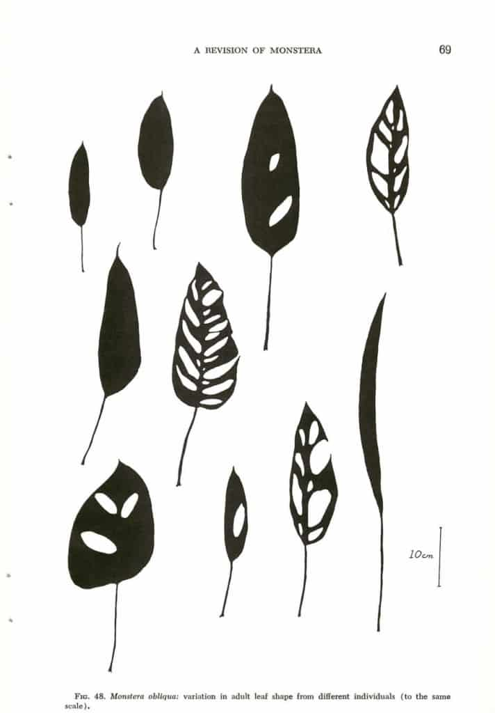 Monstera Obliqua variations in adult leaf shapes.