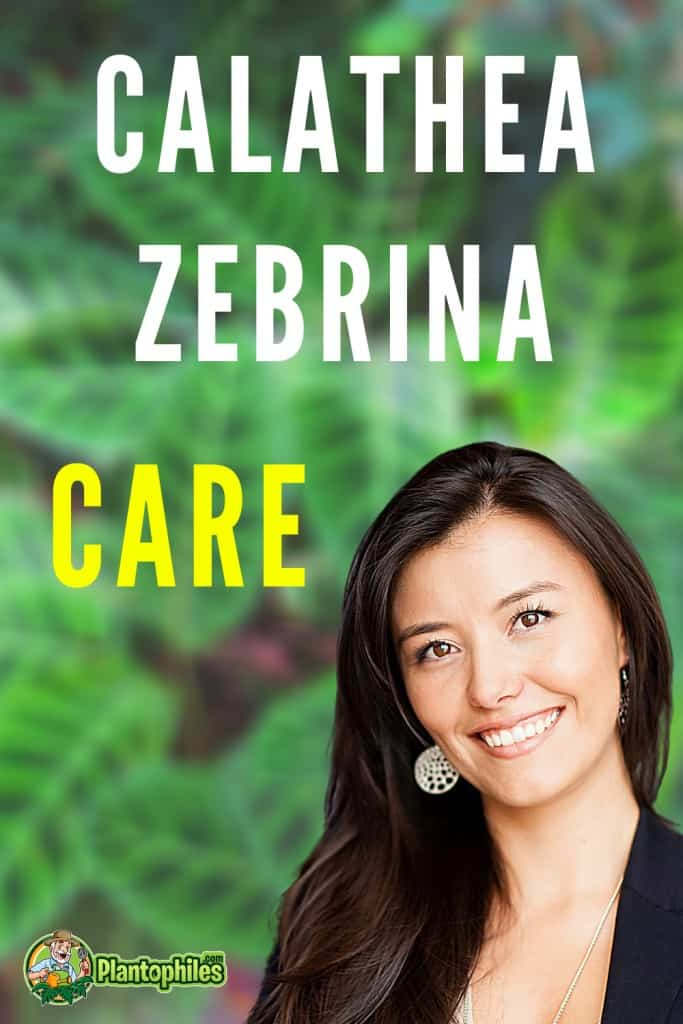 Calathea Zebrina Care