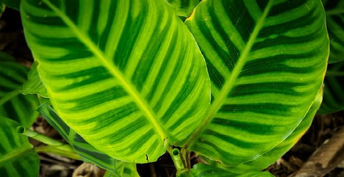Calathea Zebrina Houseplant