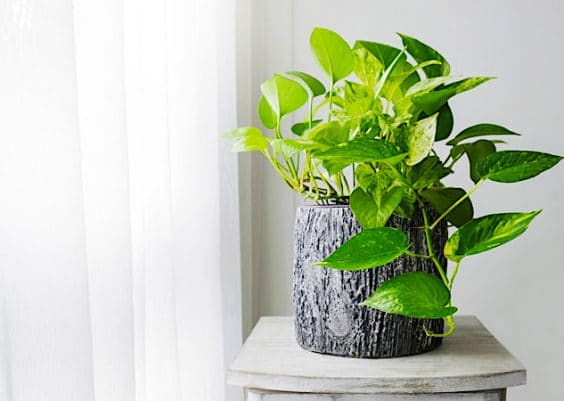 Golden Pothos Houseplant Care