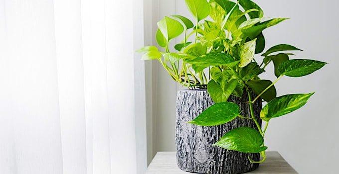Golden Pothos Houseplant Care
