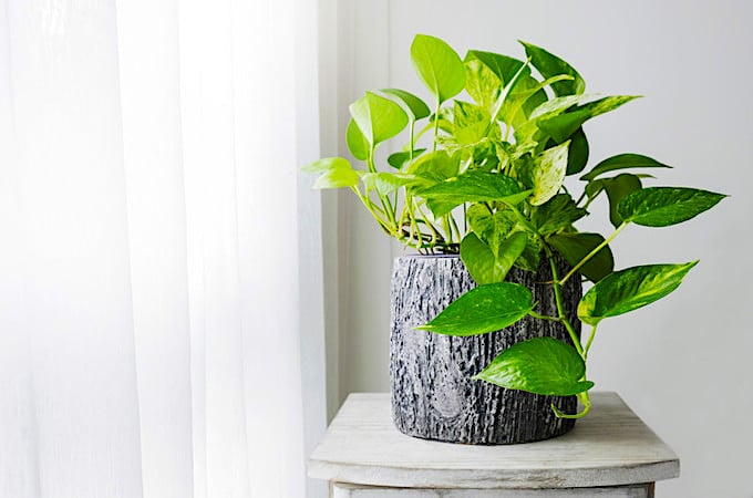 Pothos Plant Care – The Ultimate Guide