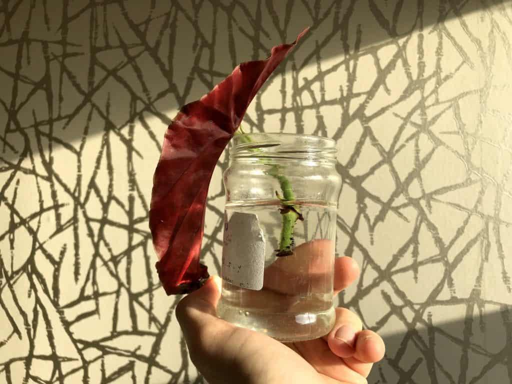 Begonia Maculata leaf and stem rooting in water.