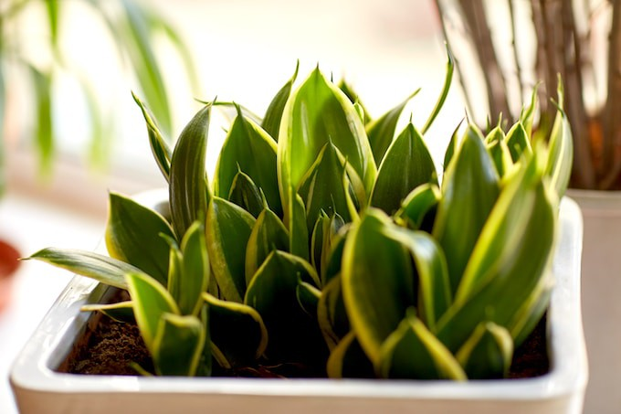 Plant Care Guide for Sansevieria Plants