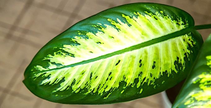 Dieffenbachia Plant Care