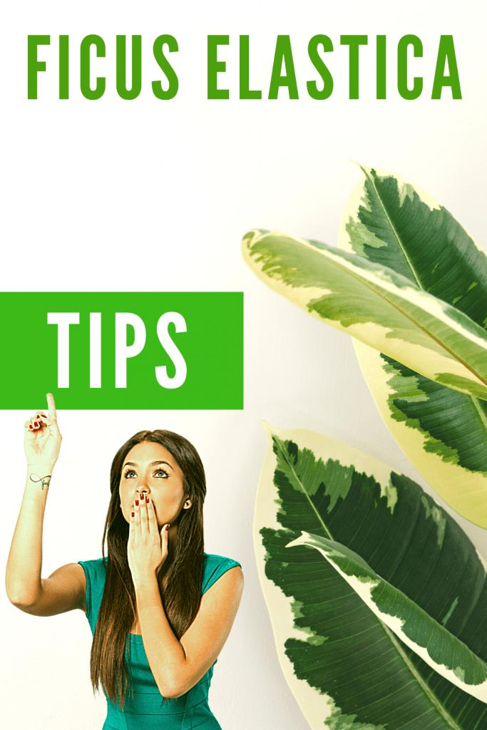 Ficus Elastica Plant Care