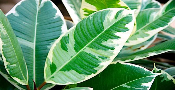 Plant Care Guide for Ficus Elastica Plants