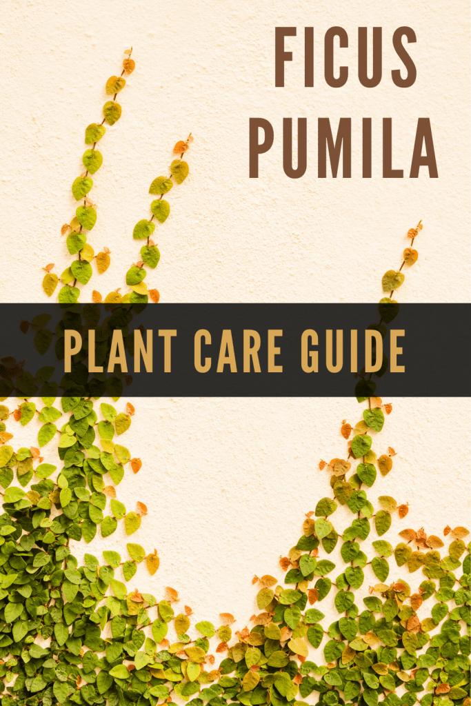 Ficus Pumila Plant Care Guide