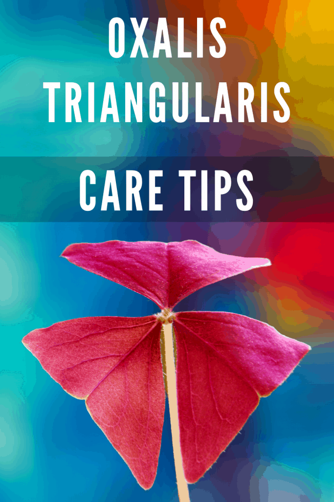Oxalis Triangulars Care Tips