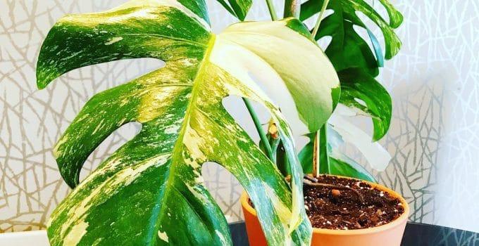 Variegated Monstera Deliciosa plant