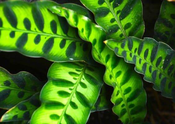 Calathea Lancifolia Plant Care