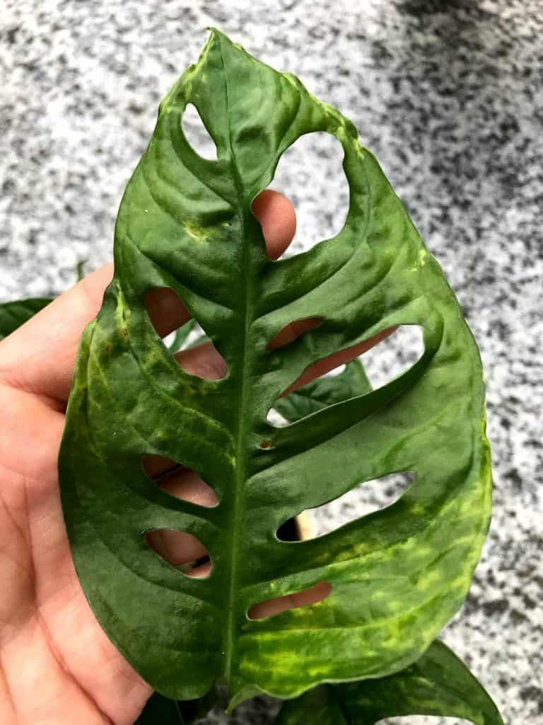 Mosaic virus infected aroid leaf