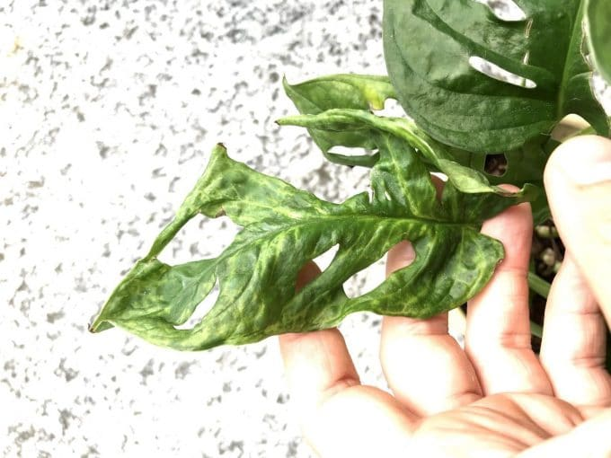 Infected leaves with Mosaic Virus