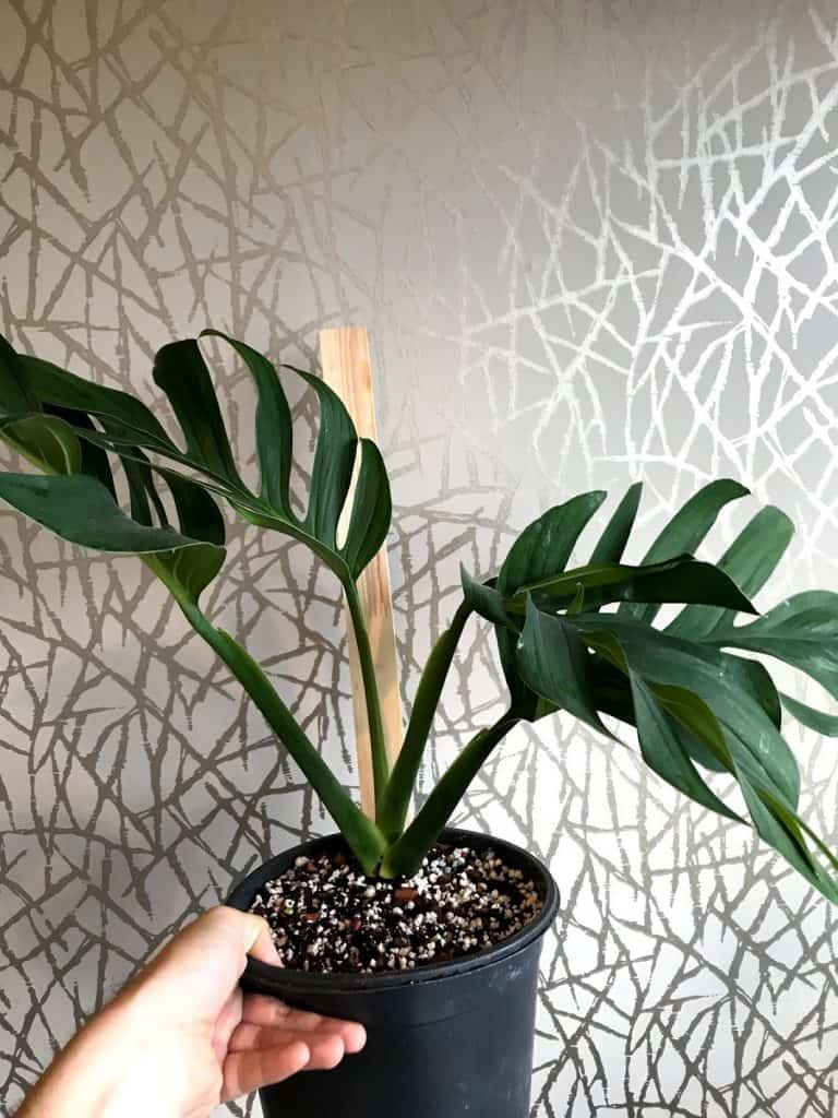Replanted plant after root rot