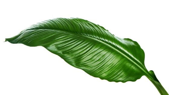 A healthy Peace Lily leaf has a dark green colour