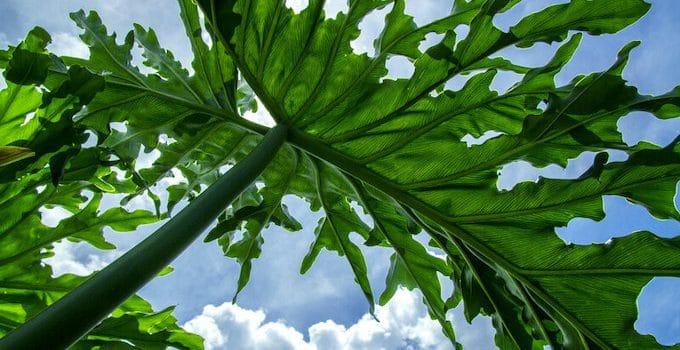 Philodendron Selloum Plant Care Guide
