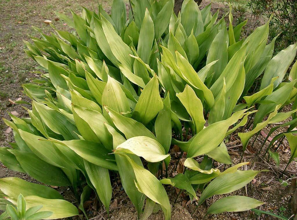 The 12 Best Houseplants for your Bathroom: Cast Iron Plant or Aspidistra elatior
