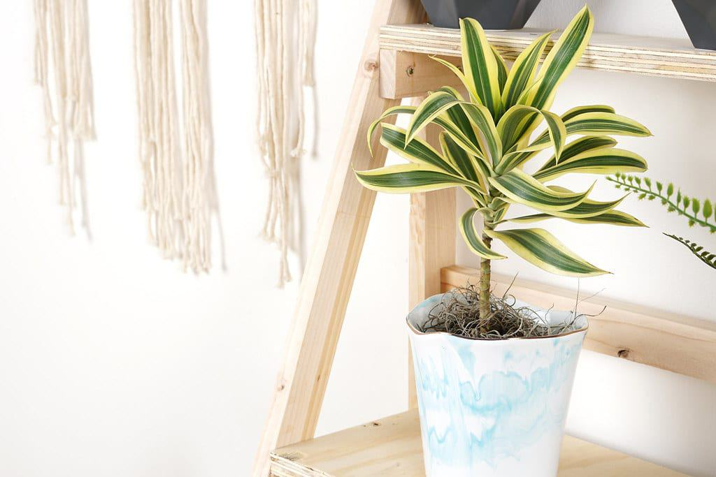 Dracaena Plant Care – Best Kept Secrets!