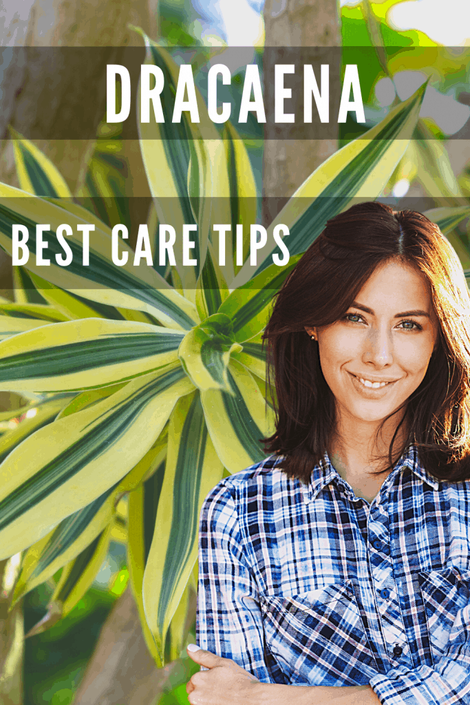 Dracaena Best Care TIps