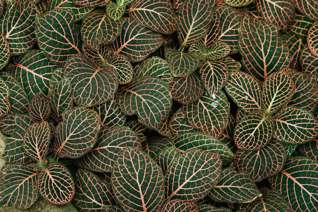 Fittonia Vershaffeliti