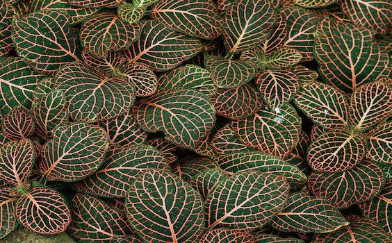 Fittonia Verschafflti Houseplant