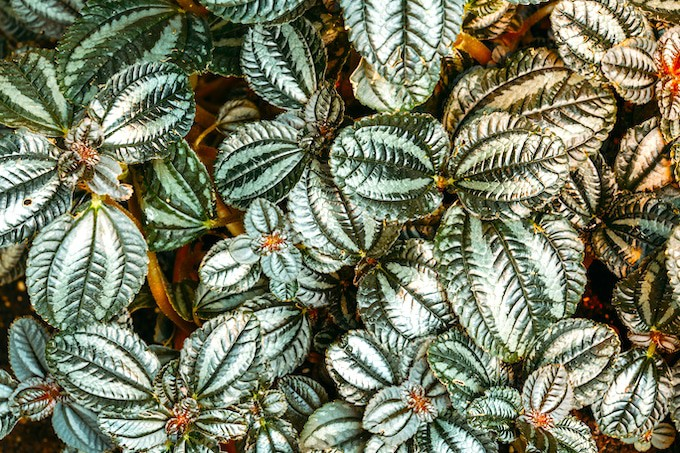 Friendship plant (Pilea involucrata)