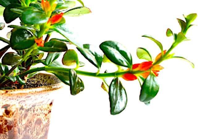 Goldfish plant (Hypocyrta)