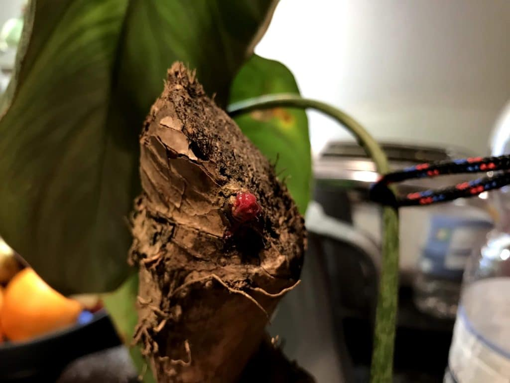 Keiki Paste on abandoned growth point on very mature Philodendron Gloriosum stem