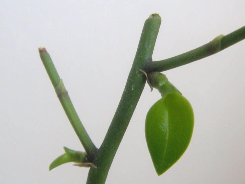 Keiki on Phalaenopsis equestris