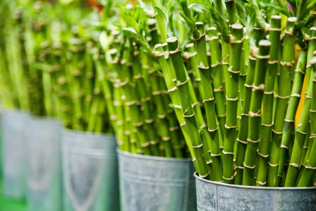 The 12 Best Houseplants for your Bathroom: The most famous bamboo that isn't an actual bamboo. Dracaena sanderiana.