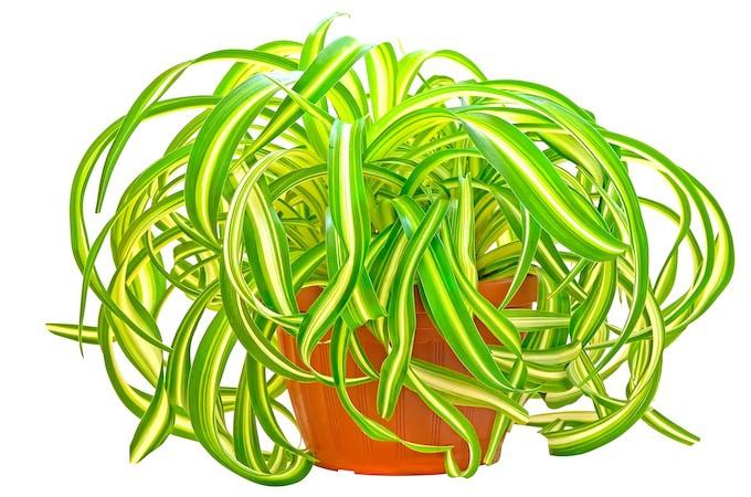 Spider plant Chlorophytum