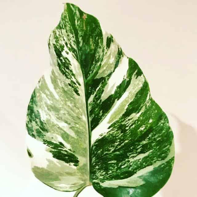 Monstera Deliciosa Borsigiana Variegated leaf