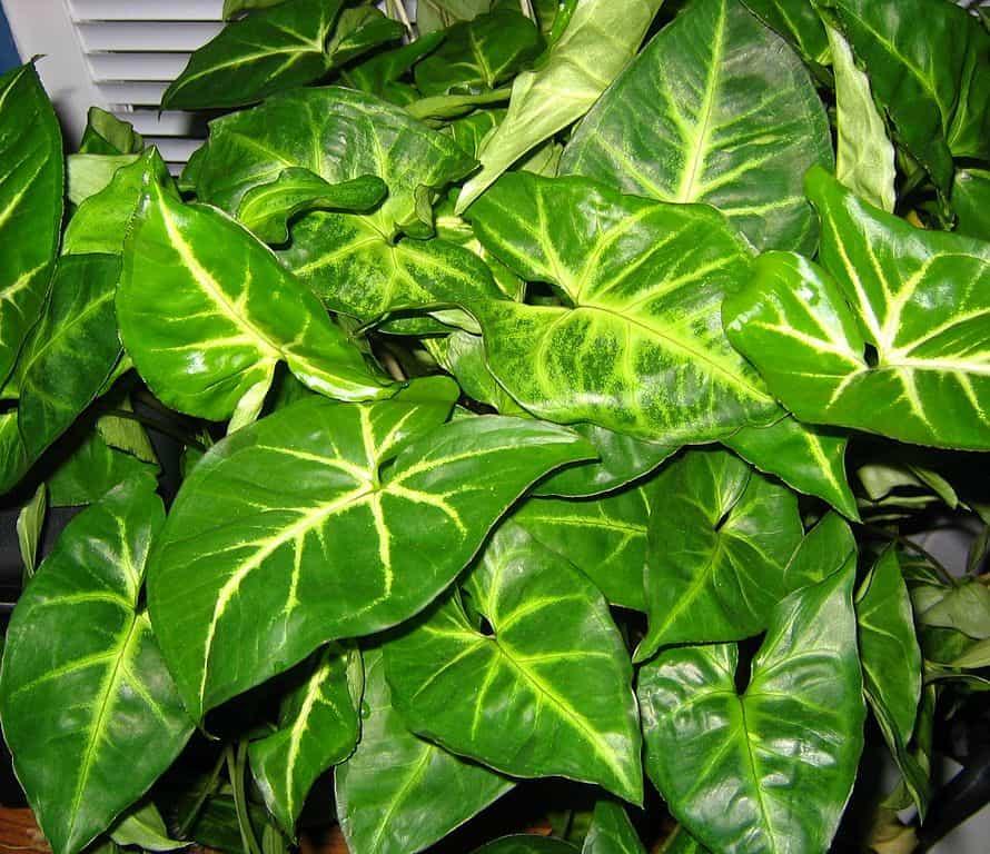 Arrowhead Plant Care