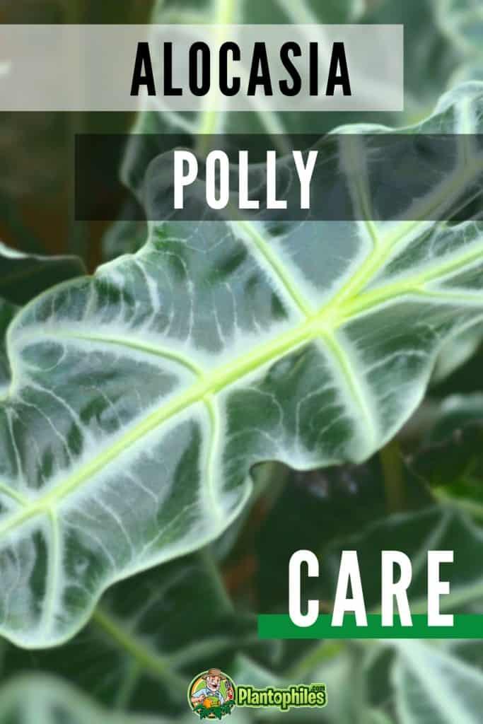 Alocasia Polly Care