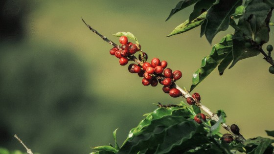 Coffee Plant Fruits