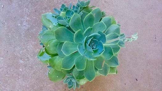 Echeveria Glauca Indoor Succulent