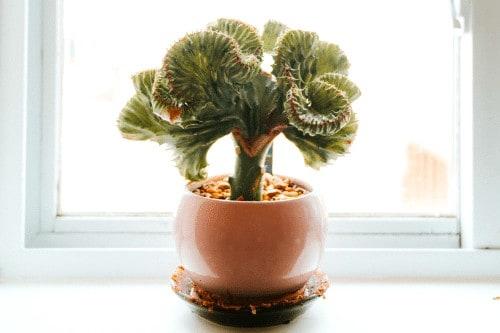 Euphorbia lactea Indoor Cactus