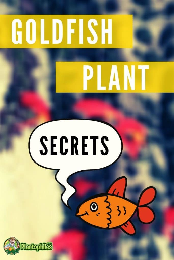Goldfish Plant Care Secrets