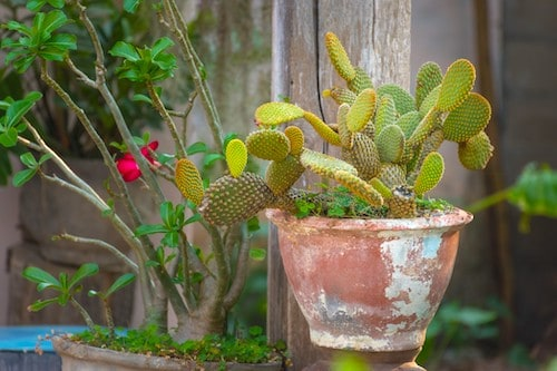 Indoor Cactus Bunny Ear Cactus