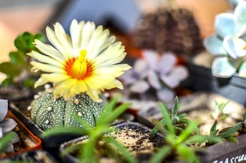 Star Cactus Astrophytum asteria